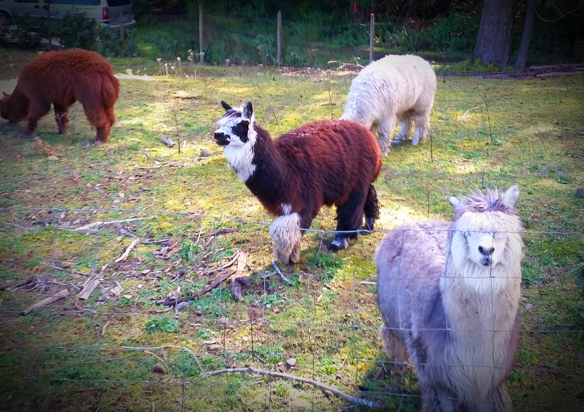 Justin and alpacas