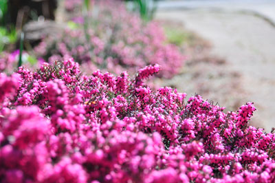 From the Haven garden: until the heather blooms