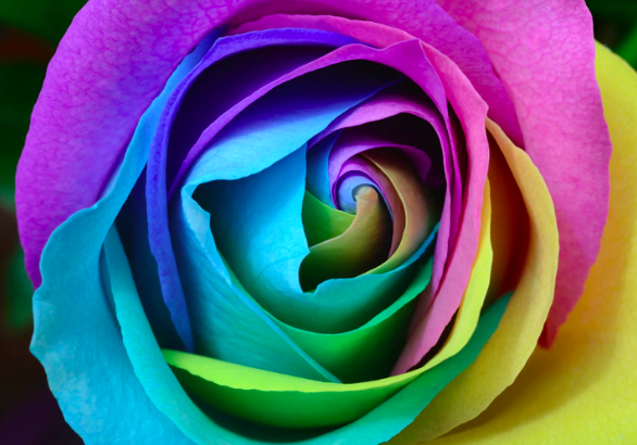 Rainbow Rose Vibrant Sexuality
